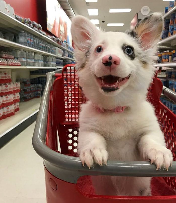 happy-dog-shopping-target-zira-the-corgi-virgoprincxss-1-1