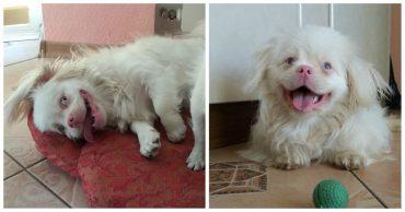 Самая улыбчивая собака в мире! Как замученный дикарь Кузя превратился в белоснежного пекинеса Лорда