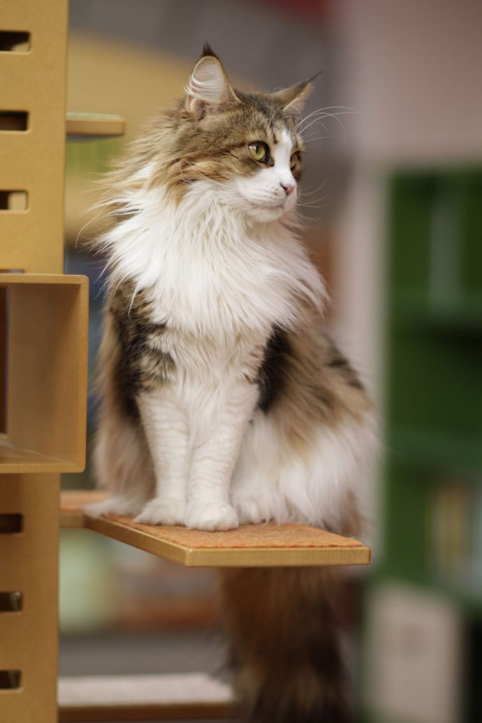 1200px-Karin_Maine_Coon