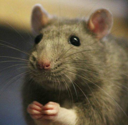 20 причин, почему вы захотите завести в доме декоративную крысу! Это же маленькие комочки счастья :) рис 14