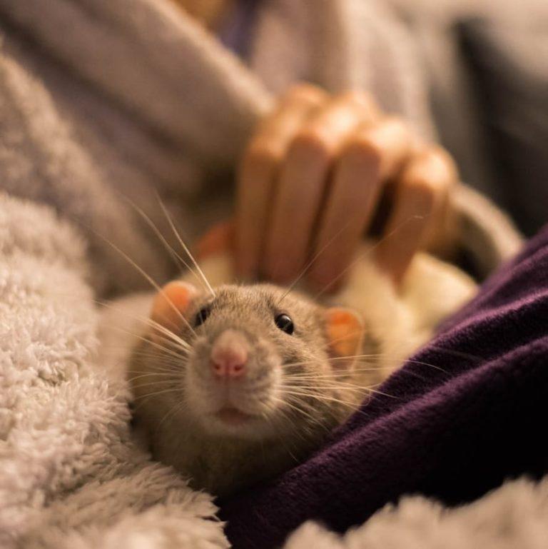 20 причин, почему вы захотите завести в доме декоративную крысу! Это же маленькие комочки счастья :) рис 18