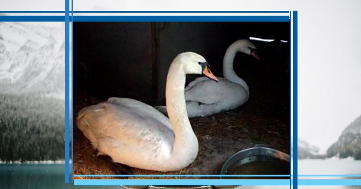 Рязанские лебеди Мартин и Марта познакомились в курятнике! У каждого из них своя печальная история... с хэппи-эндом)