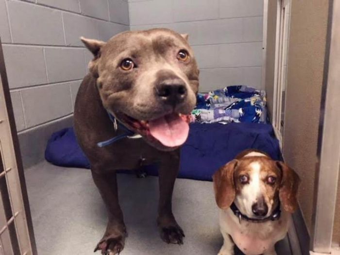 The-exciting-story-of-a-pit-bull-who-does-not-abandon-the-blind-dog-5aea2cf84fce0__700