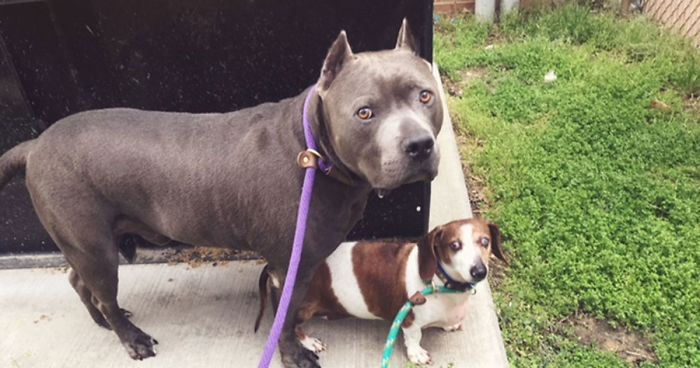 The-exciting-story-of-a-pit-bull-who-does-not-abandon-the-blind-dog-5aea2f235014e__700