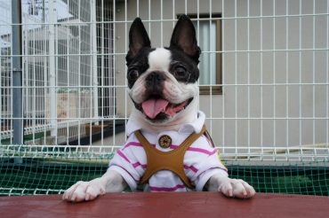 Бостон-терьер (Boston Terrier)
