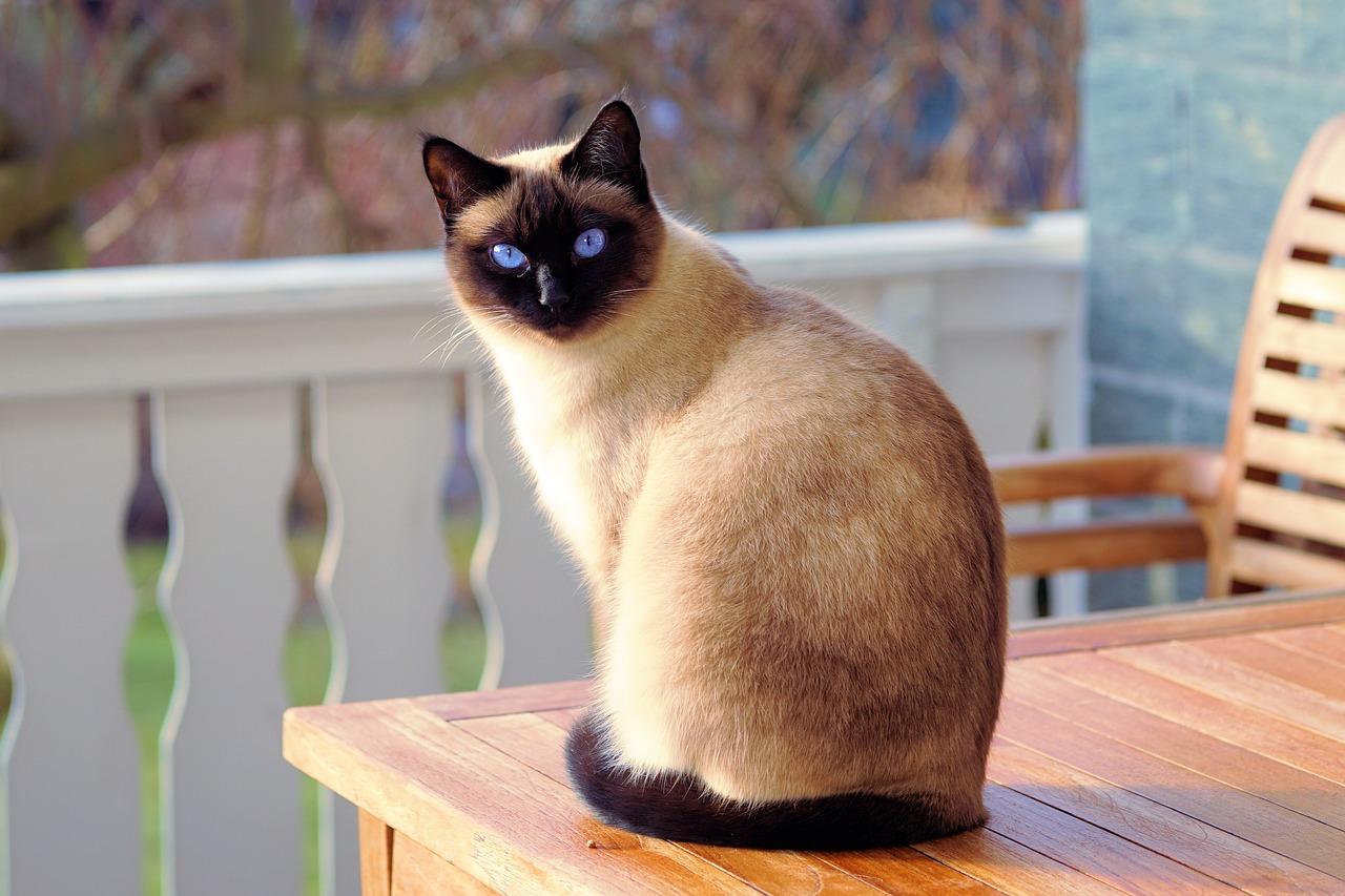 сиамский котенок 5