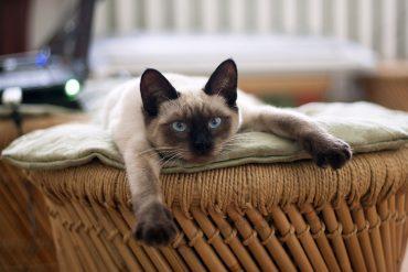 сиамский котенок 7