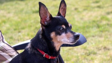 miniature-pinscher-3291290_1280
