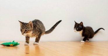 На двоих всего четыре лапки! У этих котят редкое заболевание, но вы удивитесь, как они живут...