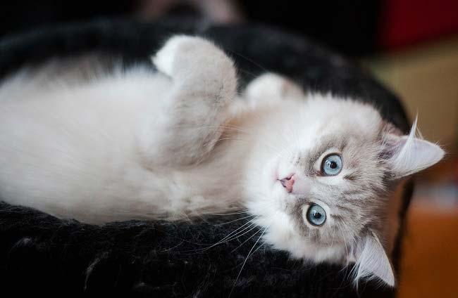 Невская маскарадная кошка уход и содержание 2