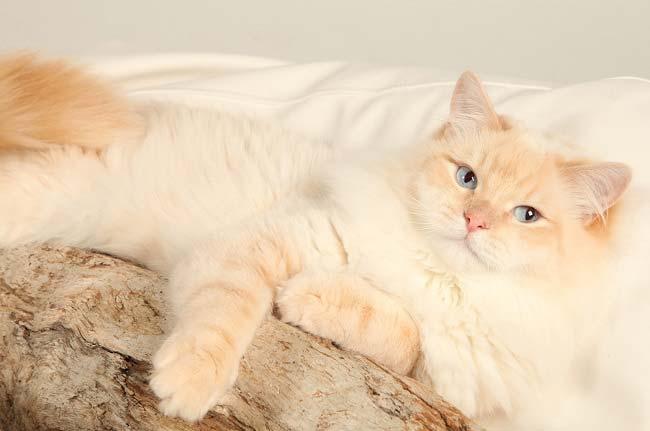 Невская маскарадная кошка уход и содержание 3