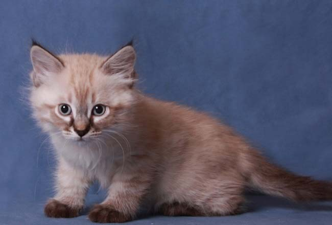 Невская маскарадная кошка уход и содержание 4