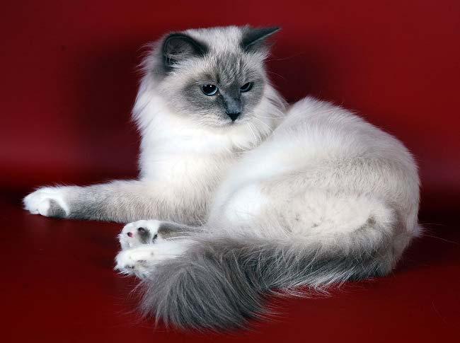 Невская маскарадная кошка уход и содержание