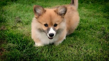 welsh-corgi-1581847_1280