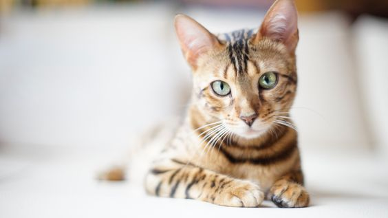 бенгальский кот с зелеными глазами
