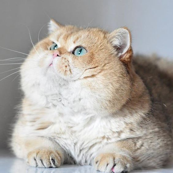 Персиковая британская кошка
