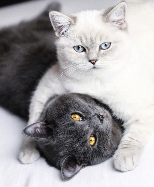 Серая и белая британские кошки