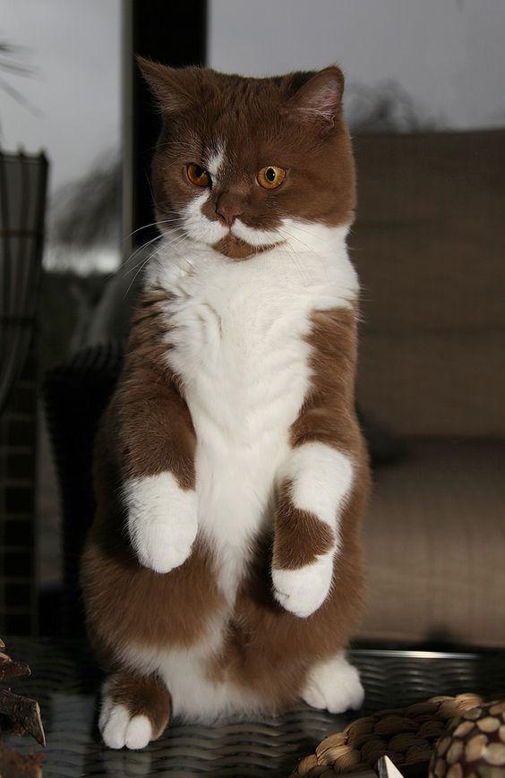 Двухцветная Британская короткошерстная кошка на задних лапах