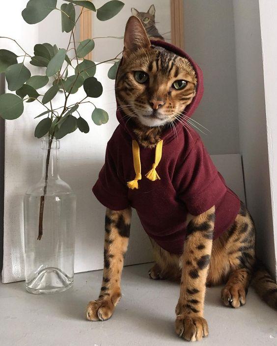 бенгальский кот в кофте
