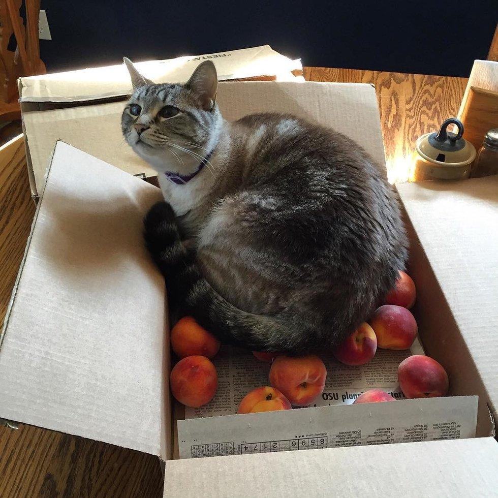 кот в коробке с персиками
