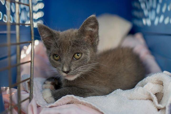 серый котенок отдыхает