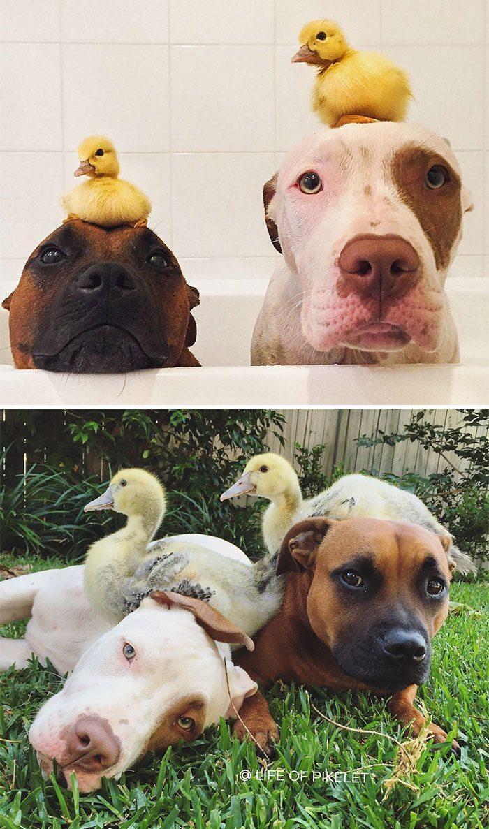 две собаки и утята