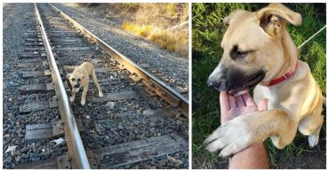 """""""Я не виноват, что расту!"""" Кто-то привязал к рельсам большого щенка и оставил ждать поезда..."""