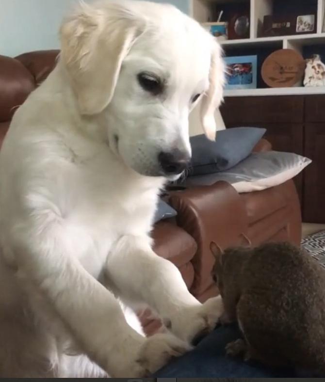 лабрадор и белка