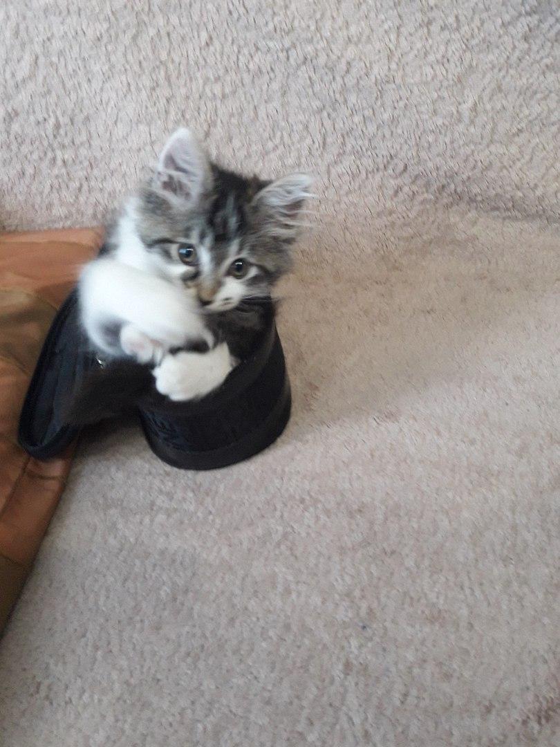 котенок с серой мордочкой