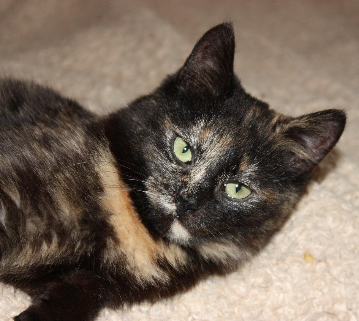 трехцветная кошка с зелеными глазами