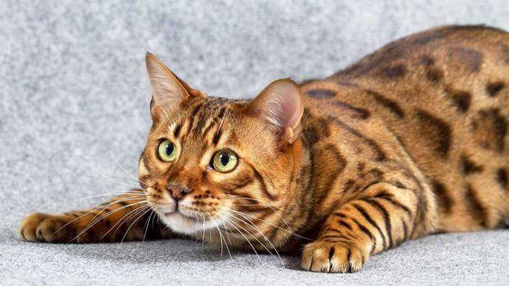 бенгальский кот перед прыжком