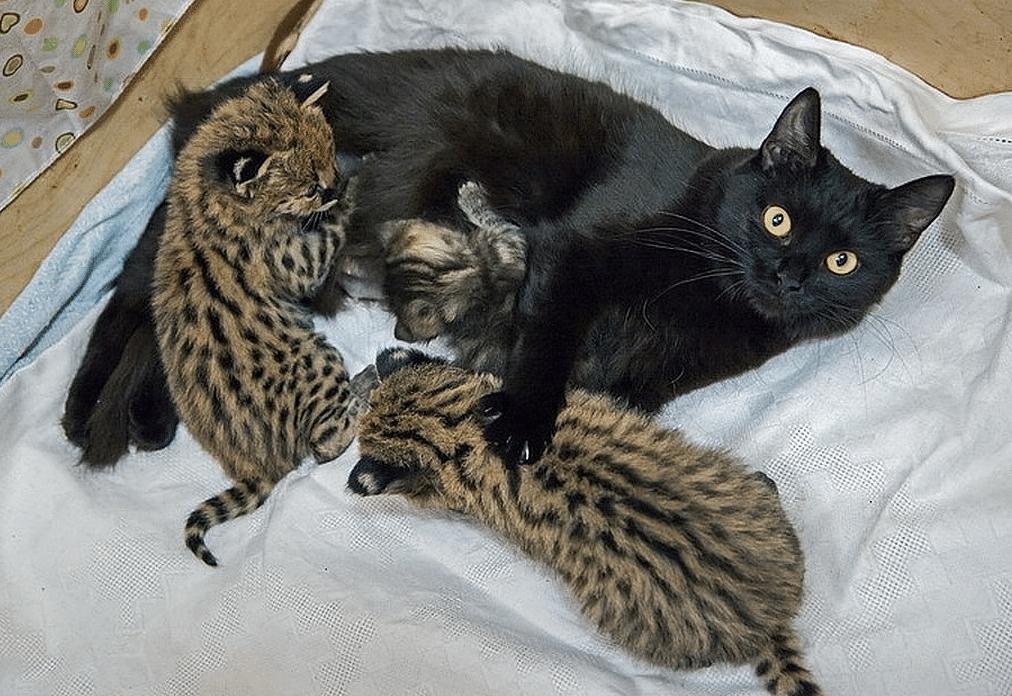 кошка кормит диких зверей