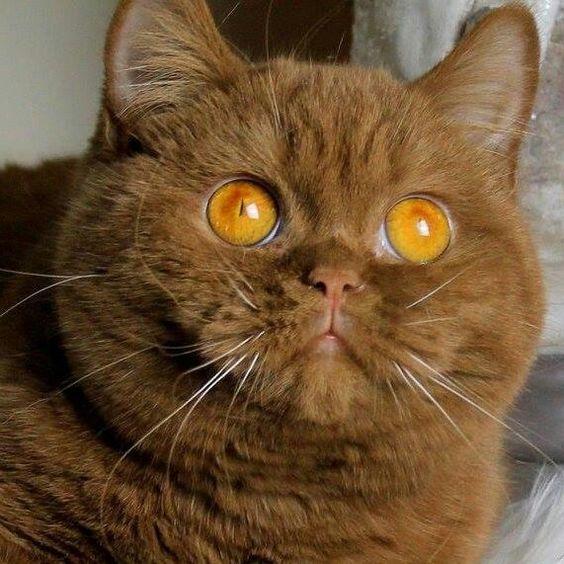 Рыжая британская кошка