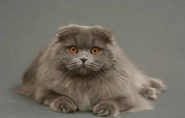 Хайленд фолд (Scottish Fold)