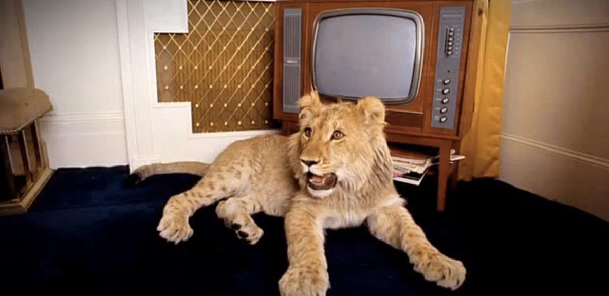 львенок в доме