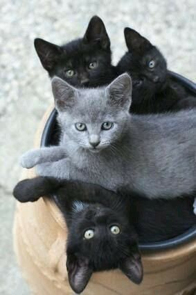 три черных и один серый котенок