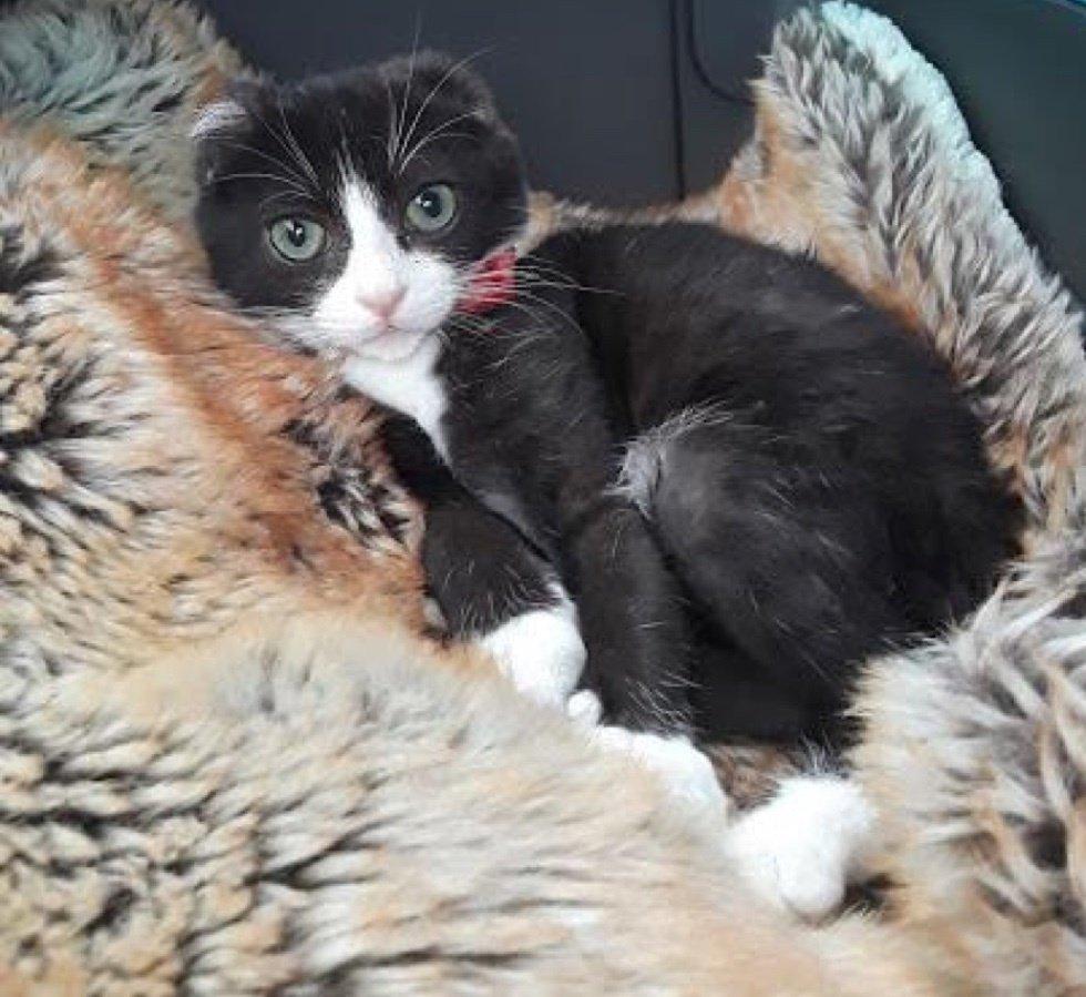кошка без ушей