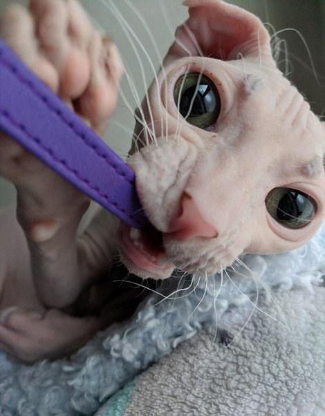 кот жует ремень