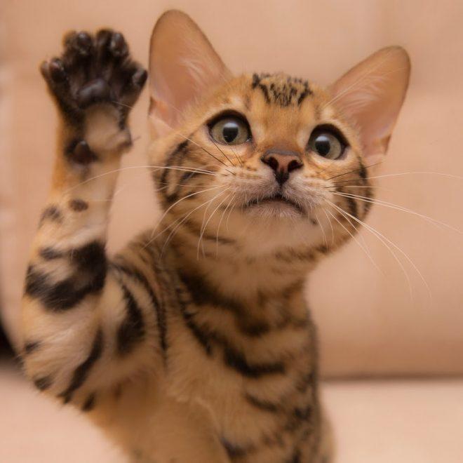 кошка дает пять