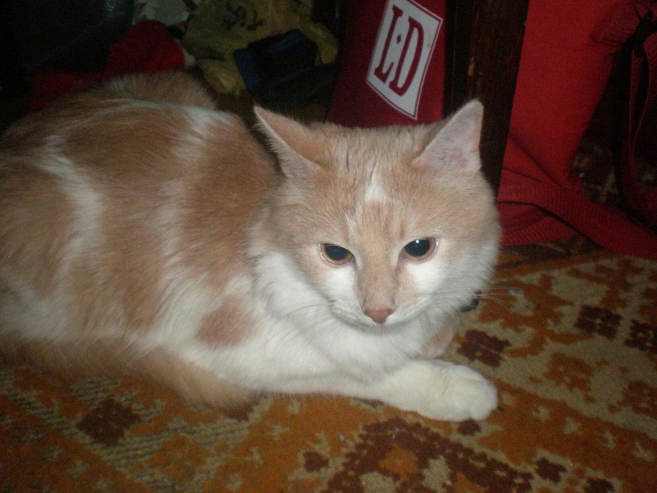 бело-рыжий кот на полу