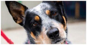 Брошенную беременную собаку спасли от смерти, а теперь она вновь борется за жизнь
