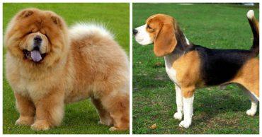 10 пород собак, которые плохо поддаются дрессировке
