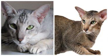 Ориентальная кошка: фото, описание породы, где купить