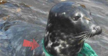 Рыболовная сеть впилась в шею тюленя... Чтобы помочь, люди искали его не один месяц!
