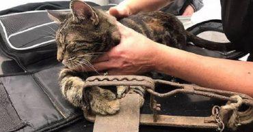 Осторожно, капкан: черепаховую кошечку нашли с раненой лапой, и теперь неизвестно, что будет дальше