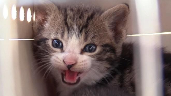 Котенок мяучит