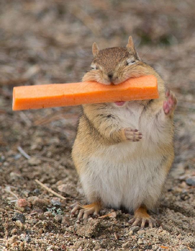 Бурундук с морковкой