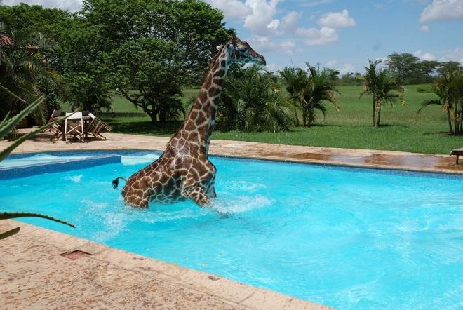 Жираф в воде