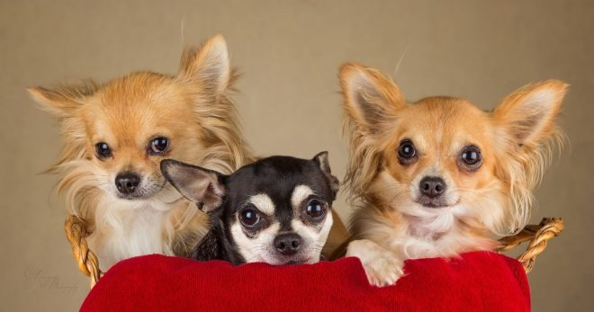 Три собачки