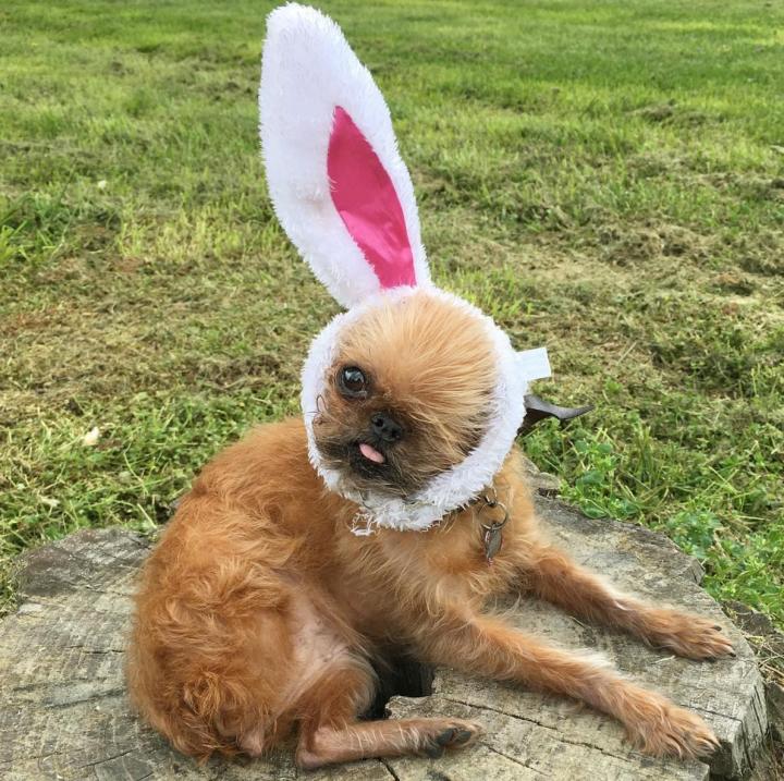 собака в игрушечных ушках